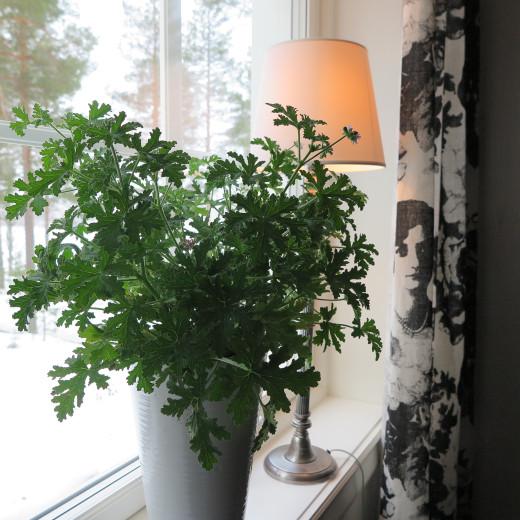 Doftande gröna blad hos Rosengeranium